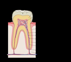 Строение зуба - нерв